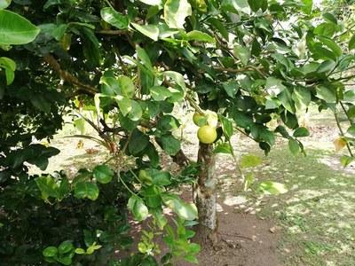 Sweet Lemons (Medicinal)